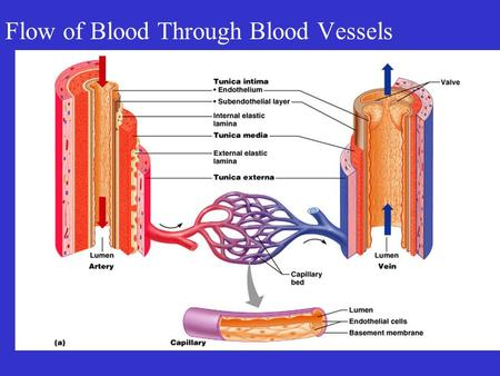 Flow of Blood Through Blood Vessels. Blood Vessels.