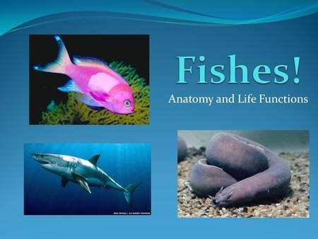 Anatomy and Life Functions. Sharks are considered fish 10,000 species of fish exist Fish have an internal air pouch called a swim bladder Most bony fish.