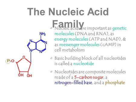 The Nucleic Acid Family Nucleic acids are important as genetic molecules (DNA and RNA), as energy molecules (ATP and NAD), & as messenger molecules (cAMP)