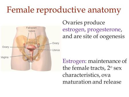 Female reproductive anatomy Ovaries produce estrogen, progesterone, and are site of oogenesis Estrogen: maintenance of the female tracts, 2 o sex characteristics,