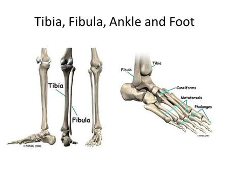 Tibia, Fibula, Ankle and Foot. Joke of the Day: Interesting Facts Many people have one foot larger than the other, so it's best to fit the larger one.