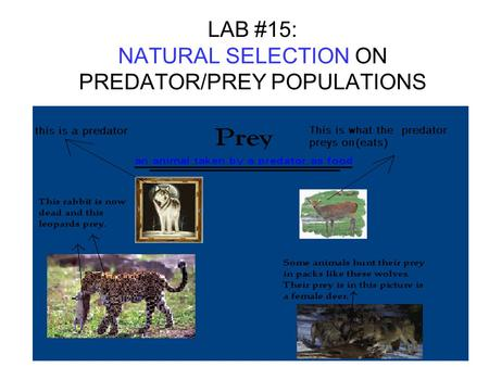 LAB #15: NATURAL SELECTION ON PREDATOR/PREY POPULATIONS.