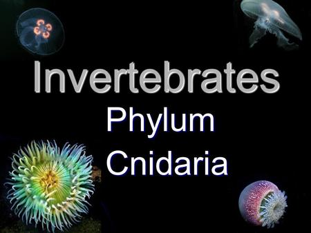 Invertebrates Phylum Phylum Cnidaria Cnidaria. Class Cubozoa Some are among the most dangerous marine animals. Some are among the most dangerous marine.