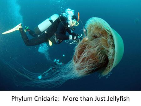 Phylum Cnidaria: More than Just Jellyfish. Don't Forget Sponges! Phylum: – Porifera Anatomy & Physiology: – Osculum, Spongocoel (asymetrical) – Archaeocytes,