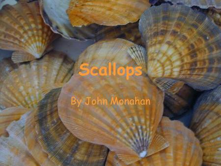 Scallops By John Monahan. Scallops are marine mollusks of the family Pectinadae. They are bivalve which means they have two shells hinged together that.