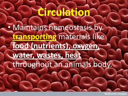 Circulation Maintains homeostasis by transporting materials like food (nutrients), oxygen, water, wastes, heat throughout an animals body.