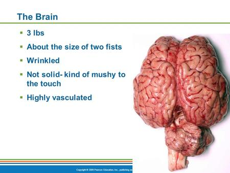 Copyright © 2009 Pearson Education, Inc., publishing as Benjamin Cummings The Brain  3 lbs  About the size of two fists  Wrinkled  Not solid- kind.