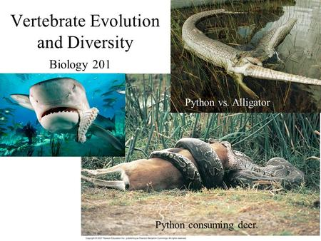 Vertebrate Evolution and Diversity Biology 201 Python consuming deer. Python vs. Alligator.