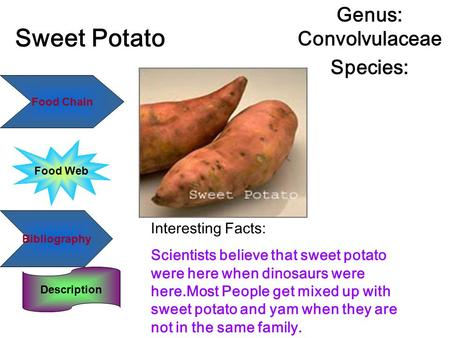 Sweet Potato Genus: Convolvulaceae Species: Interesting Facts: Scientists believe that sweet potato were here when dinosaurs were here.Most People get.