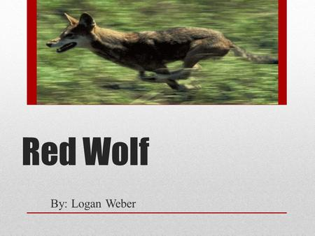 Red Wolf By: Logan Weber. Physical Features Color will vary from brown-red dark gray, tan, or black with red tinge Weighs between lbs 4 to 5 feet.