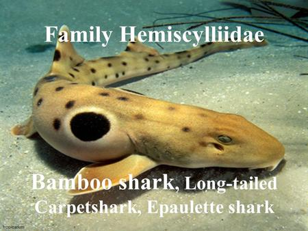 Tropicarium Family Hemiscylliidae Bamboo shark, Long-tailed Carpetshark, Epaulette shark.