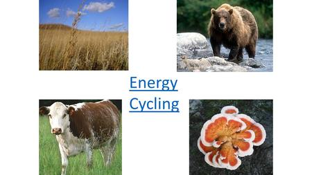 Energy Cycling. Energy Flow within an Ecosystem Sun Producers Primary Consumer Secondary/Tertiary Consumer Decomposers Heat Chemical Energy Solar Energy.