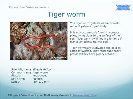 Scientific name: Eisenia fetida Common name:tiger worm Status:introduced Soil niche:epigeic Length:30–130 mm The tiger worm gets its name from its red.