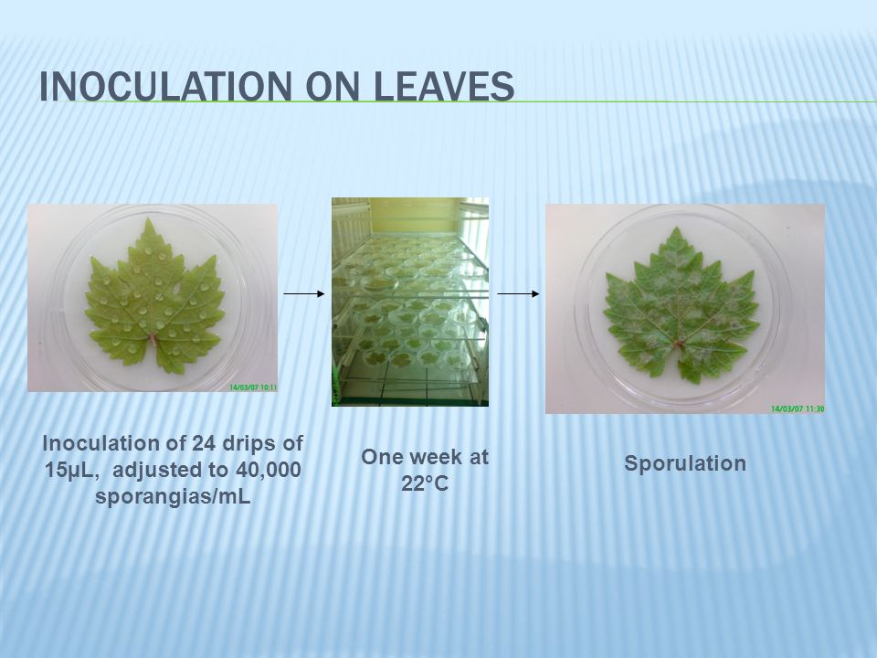 FUNGICIDE SCREENING Inoculation on leaves disks sprayed with famoxadone (100mg/mL) Visual notation