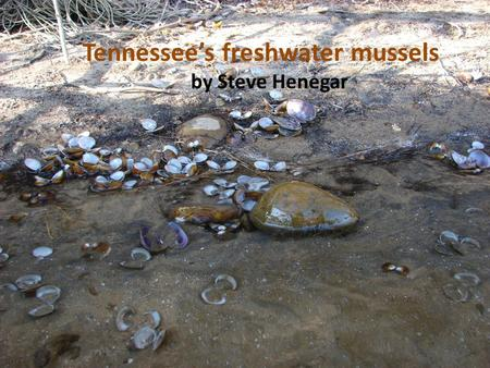 Tennessees freshwater mussels by Steve Henegar. Nearly 300 species in North America Most diverse populations of mussels on earth 130 species in Tennessee.