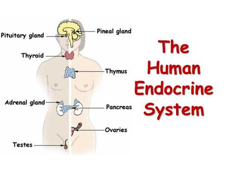 The Human Endocrine System. Endocrine System and the Central Nervous System.
