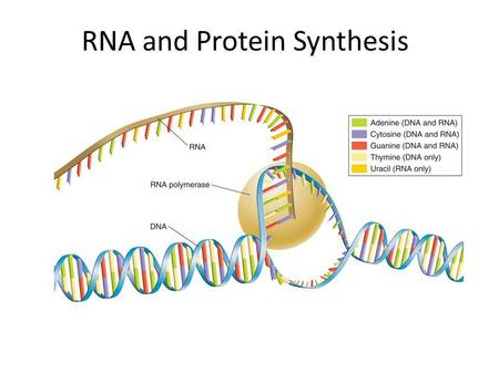 What is the role of ribosomes in protein synthesis?