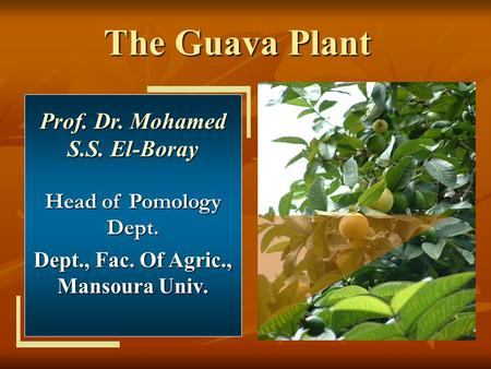 The Guava Plant Prof. Dr. Mohamed S.S. El-Boray Head of Pomology Dept. Dept., Fac. Of Agric., Mansoura Univ.