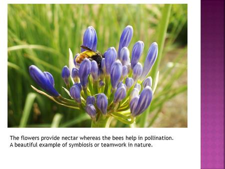 The flowers provide nectar whereas the bees help in pollination. A beautiful example of symbiosis or teamwork in nature.