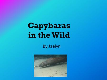 Capybaras in the Wild By Jaelyn. Table of Contents.