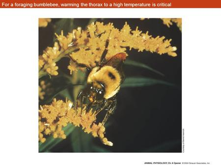 For a foraging bumblebee, warming the thorax to a high temperature is critical.