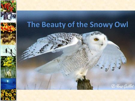 The Beauty of the Snowy Owl. The Snowy Owl is typically found in the northern circumpolar region, where it makes its summer home north of latitude 60.