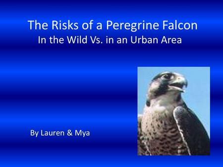 The Risks of a Peregrine Falcon In the Wild Vs. in an Urban Area By Lauren & Mya.