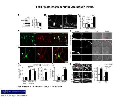 FMRP suppresses dendritic Arc protein levels.