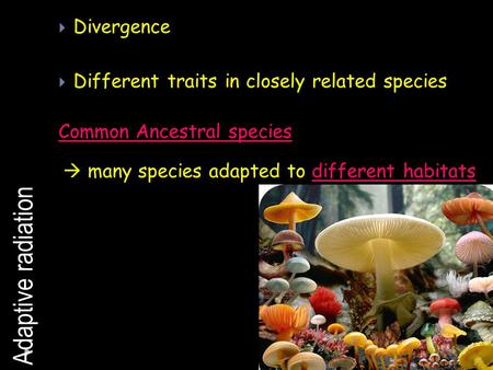 Adaptive radiation Divergence Different traits in closely related species Common Ancestral species many species adapted to different habitats.