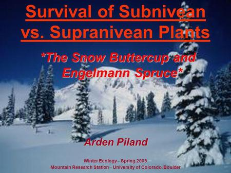 Survival of Subnivean vs. Supranivean Plants *The Snow Buttercup and Engelmann Spruce* Winter Ecology – Spring 2005 Mountain Research Station – University.