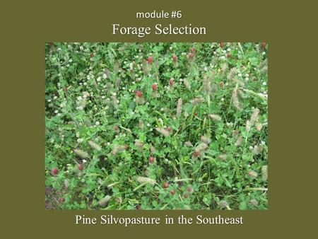 Module #6 Forage Selection Pine Silvopasture in the Southeast.