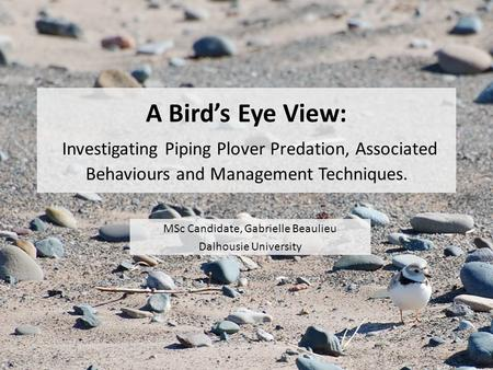 A Birds Eye View: Investigating Piping Plover Predation, Associated Behaviours and Management Techniques. MSc Candidate, Gabrielle Beaulieu Dalhousie University.