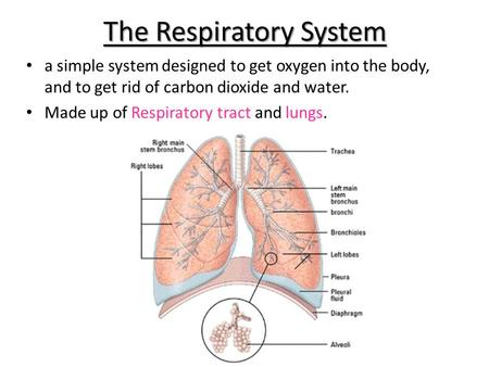 The Respiratory System a simple system designed to get oxygen into the body, and to get rid of carbon dioxide and water. Made up of Respiratory tract and.