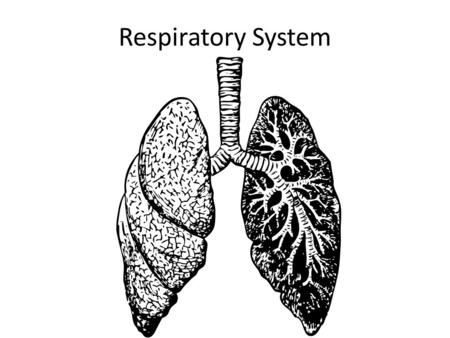 Respiratory System. The Respiratory System Animals cells require a regular supply of oxygen to survive. Oxygen is needed in order for cells to be able.