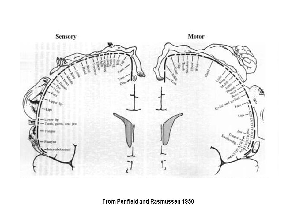 Postures Illustrating the Topographic Map Found in Precentral Cortex of Monkey.