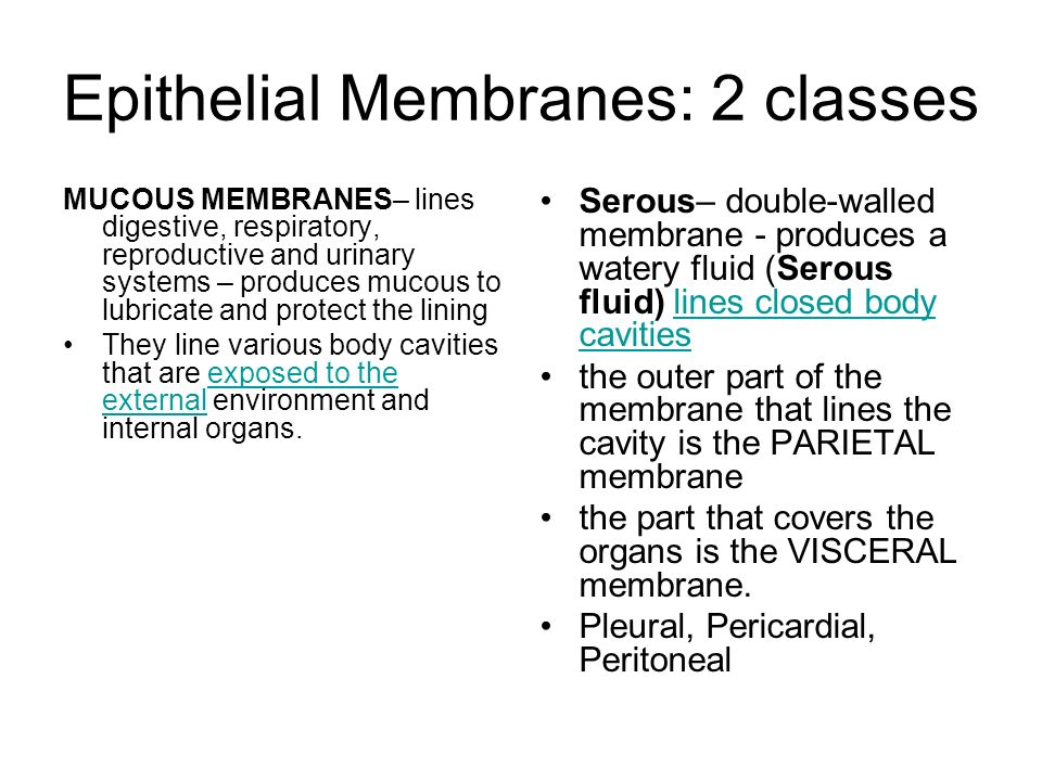 PLEURAL MEMBRANE – lines thoracic or chest cavity and protects the lungs PERICARDIAL MEMBRANE – lines the heart cavity and protects the heart PERITONEAL MEMBRANE – lines the abdominal cavity and protects abdominal organs Serous Membranes…