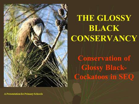 THE GLOSSY BLACK CONSERVANCY Conservation of Glossy Black- Cockatoos in SEQ A Presentation for Primary Schools.