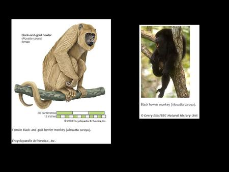 I. Primate Heritage A. First primates were arboreal B. 3 major groups C. Apes: Gibbons D. Apes: Orangutans E. Apes: Gorillas F. Apes: Chimps G. Apes: