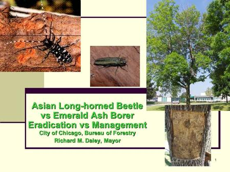 1 Asian Long-horned Beetle vs Emerald Ash Borer Eradication vs Management City of Chicago, Bureau of Forestry Richard M. Daley, Mayor.