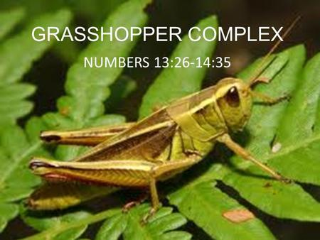 GRASSHOPPER COMPLEX NUMBERS 13:26-14:35. INTRODUCTION Israel was ready to enter the Promsed Land They sent out 12 spies to determine the best way or place.