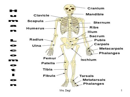 Mrs. Degl1. 2 Locomotion or movement involves the interaction of bones, cartilage, muscles, tendons, and ligaments. Bones: Bones are made of bone tissue.