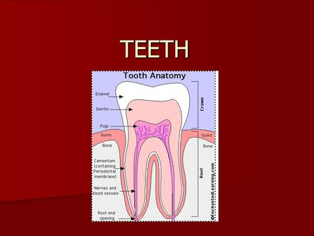 TEETH Tooth Anatomy People use their teeth to bite and chew food - they are the first step in the digestion of food. The long, sharp canine teeth tear.