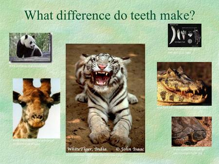 What difference do teeth make?. Some animals have sharp teeth so they can eat meat. I eat lots and lots of meat !!!