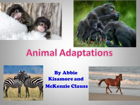 By Abbie Kisamore and McKenzie Clauss Zebra and Wild Horse Adaptations By McKenzie Clauss Part 1 of animal adaptations Whats going on?