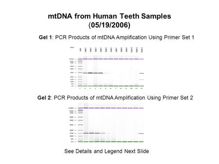 MtDNA from Human Teeth Samples (05/19/2006) Gel 1: PCR Products of mtDNA Amplification Using Primer Set 1 Gel 2: PCR Products of mtDNA Amplification Using.