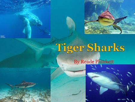 Tiger Sharks By Reade Plunkett.