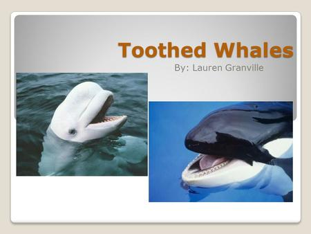 Toothed Whales By: Lauren Granville. There are around 70 different species of Toothed Whales. They get the name, Toothed Whales, because they are the.