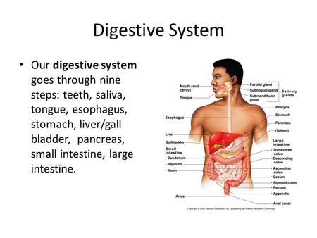 Digestive System Our digestive system goes through nine steps: teeth, saliva, tongue, esophagus, stomach, liver/gall bladder, pancreas, small intestine,