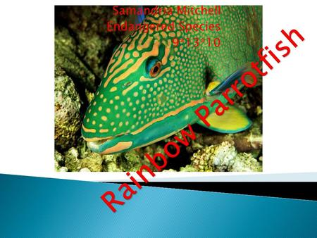 Samandria Mitchell Endangered Species 9*13*10 Rainbow Parrotfish Scientific Name: Scarus guacamaia Category: Parrotfishes Size: 1.5 to 5 ft. (45 to 150.