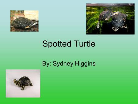Spotted Turtle By: Sydney Higgins. Controlling Body Temperature They control their body temperature with their shell.